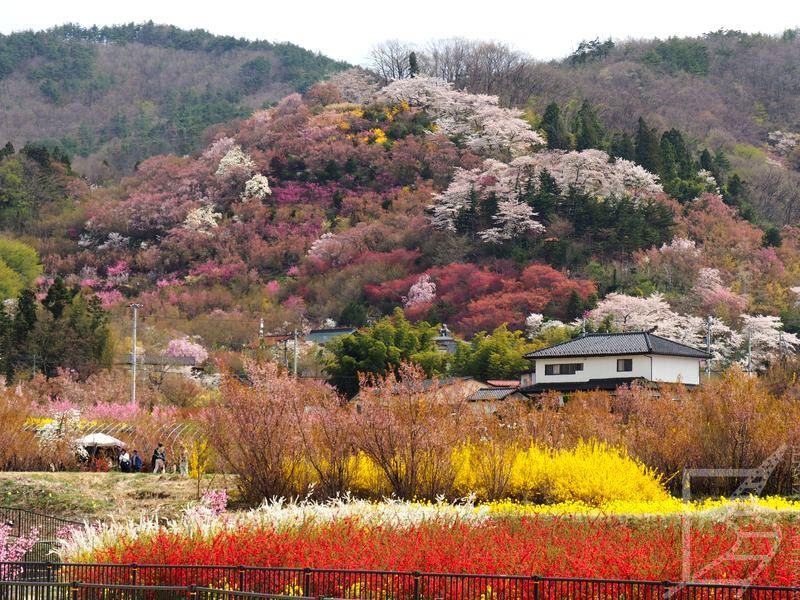Hanamiyama Park w Fukushimie