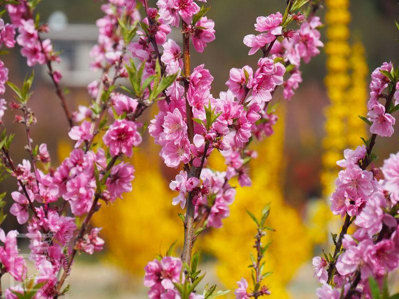 Kwitnące wiśnie (i forsycje)