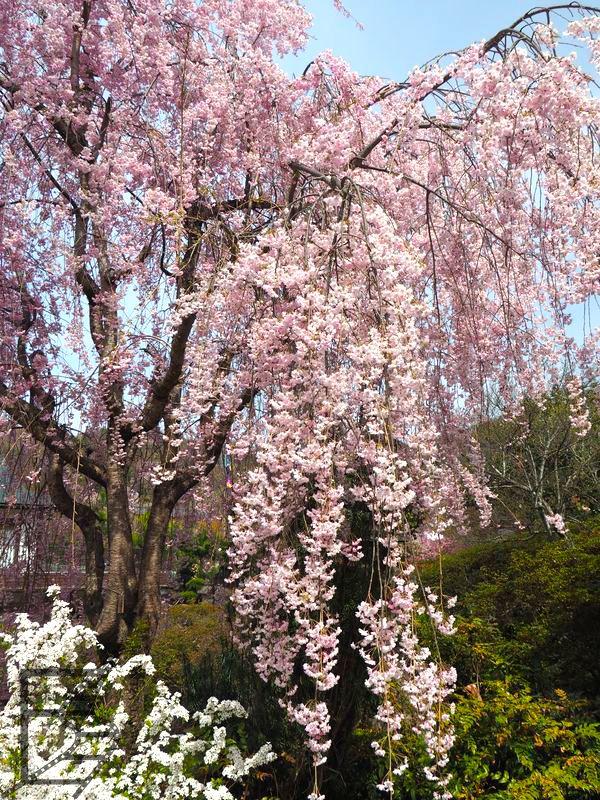 Drzewo wiśni w czasie kwitnienia