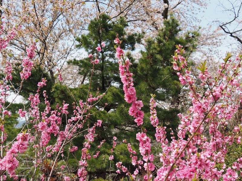 W ogrodzie jest kilka różnych odmian sakury