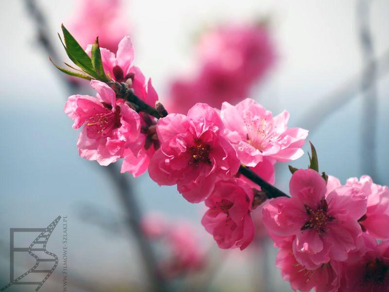 Kwitnąca sakura