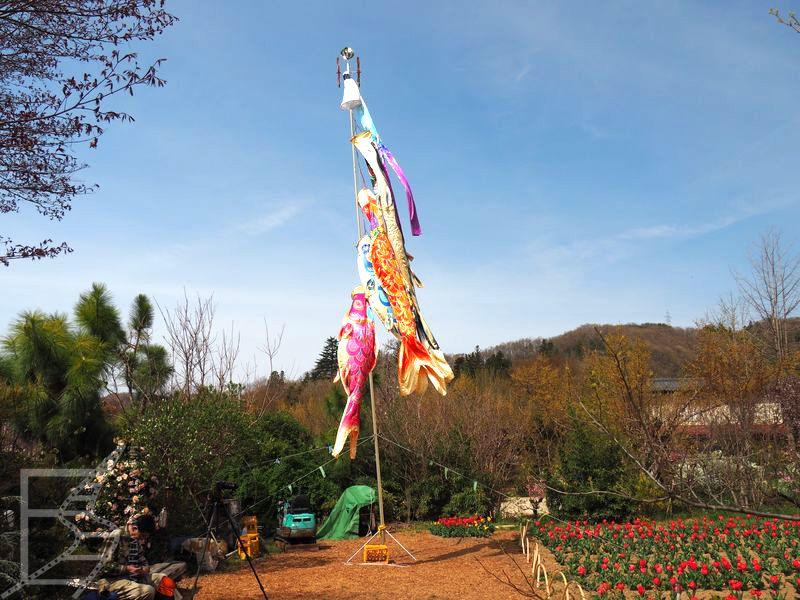 Flaga Koi-nobori i tulipany