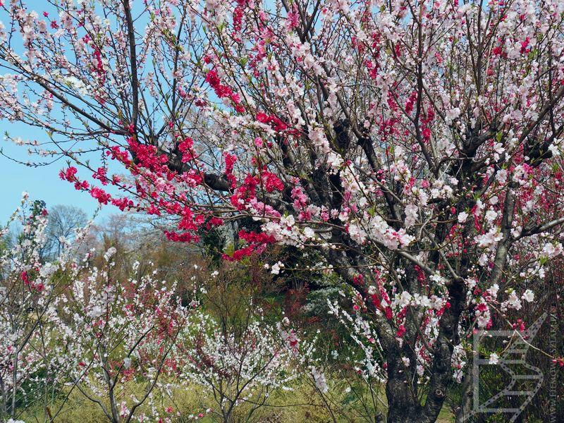 Fukushima, kwitnąca sakura