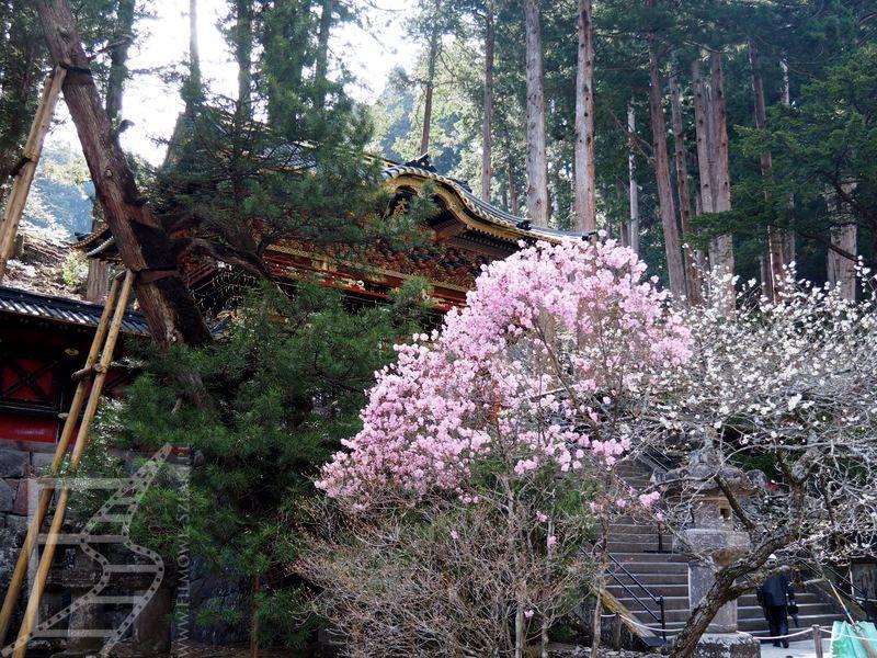 Kwitnące wiśnie w Taiyū-in