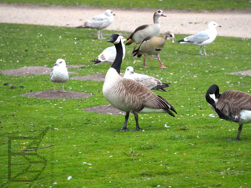 Bernikle i inne ptaki w parku Koekamp
