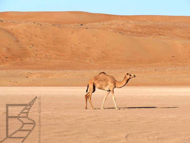 Dromader blisko obozu (Wahiba Sands, Oman)