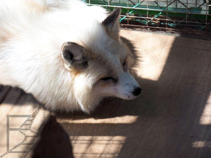 Biały lis - Zao Fox Village