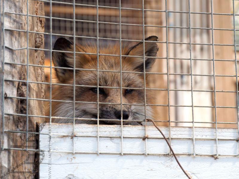 Lisek w klatce - Wioska lisów w Japonii
