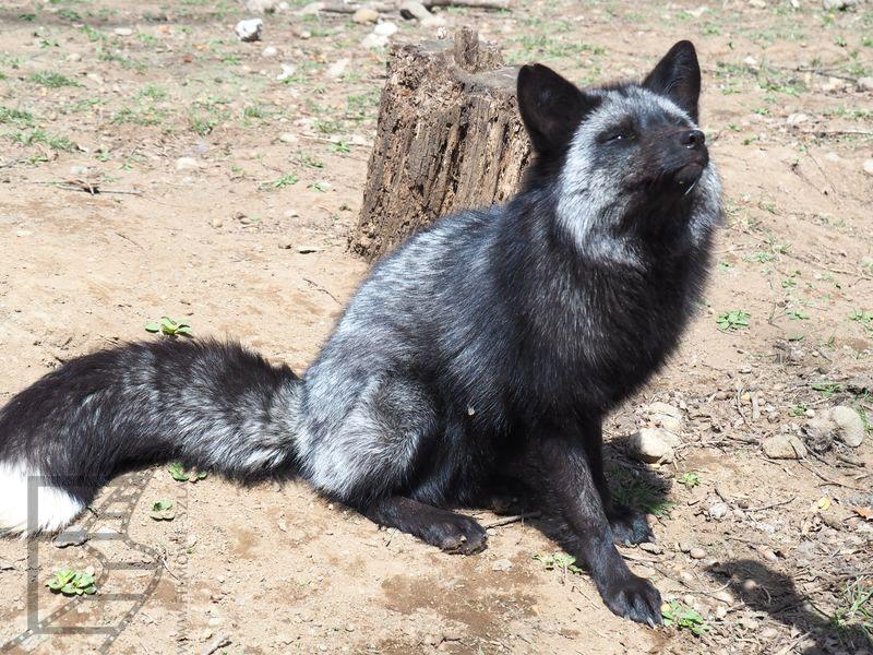 Czarny lis