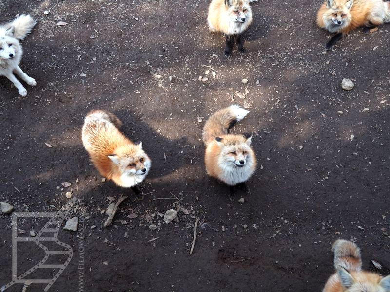Zao Miyagi Fox Village