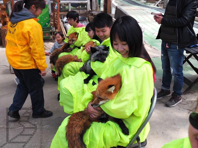 Sesja przytulania lisów