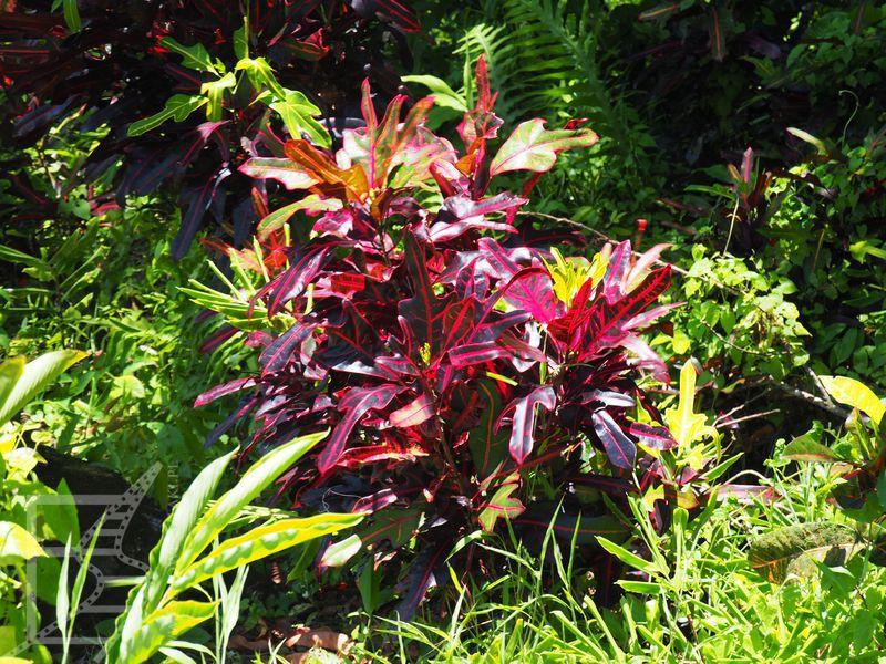 Dzikie rośliny z Samoa, które u nas sprzedaje się jako doniczkowe