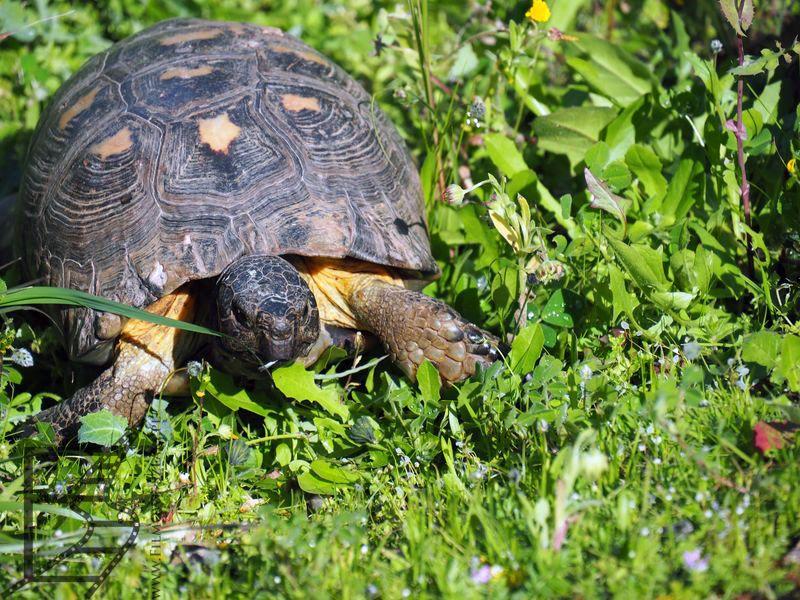 Żółw grecki ( Testudo hermanni). Można je spotkać przy zabytkach Aten.