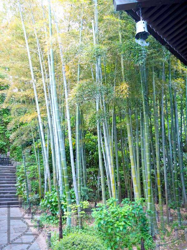 Bambus w Hase-Dera