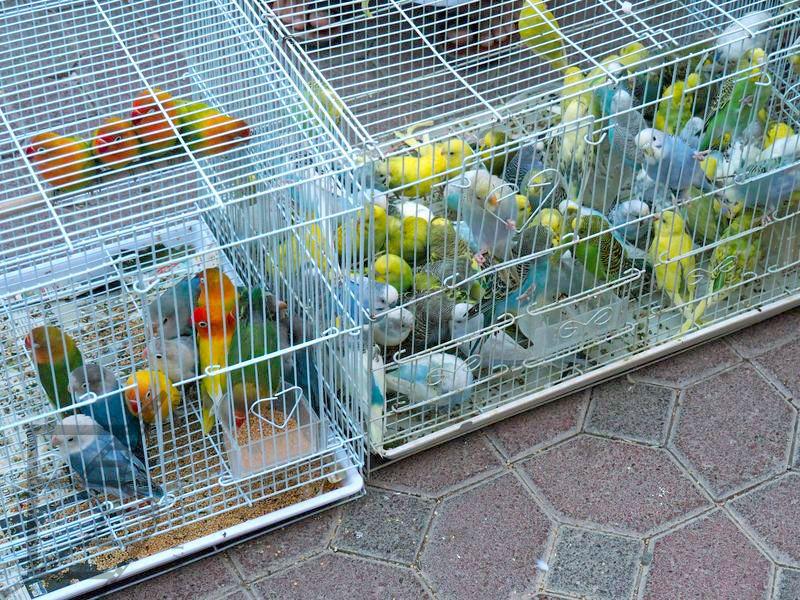 Papugi na targu (Nizwa)