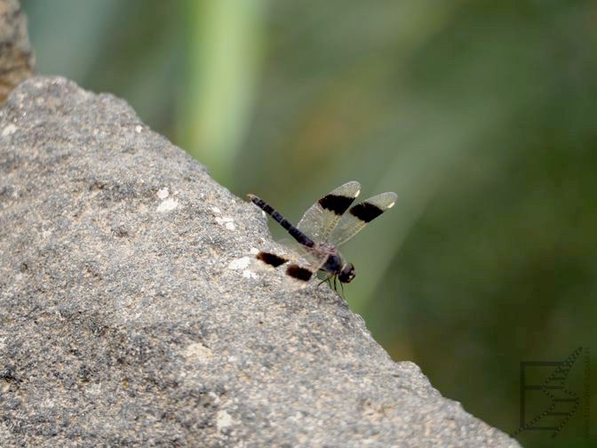 Ważka (Rezerwat Azraq Wetland, Jordania)