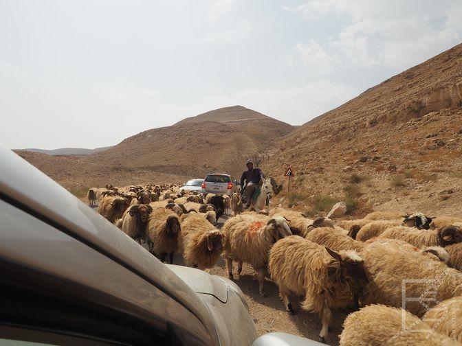 Owce na drodze (Jordania na własną rękę samochodem)