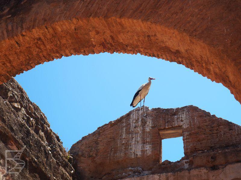 Szalla - stanowisko archeologiczne i bociany (Rabat)