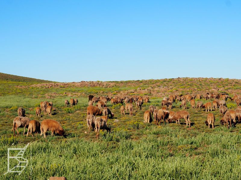 Pasące się krowy (Góry Atlas)