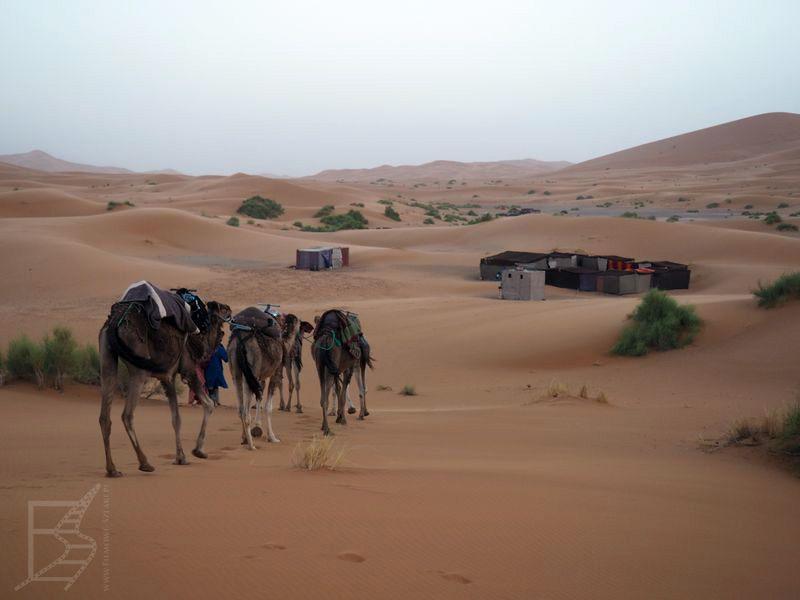 Wielbłądy pośród wydm pustyni Erg Chebbi