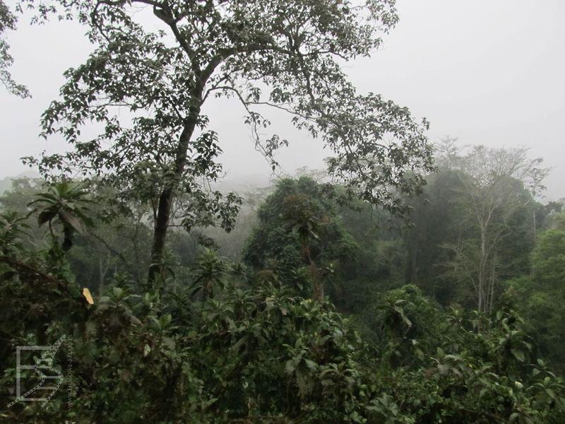 Lasy mgliste (Ngorongoro)