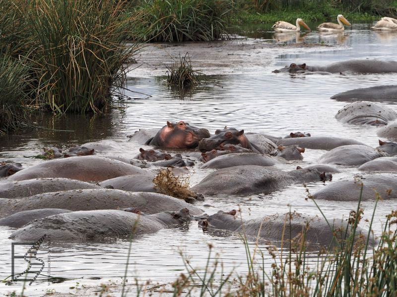 Hipopotamy w Ngorongoro