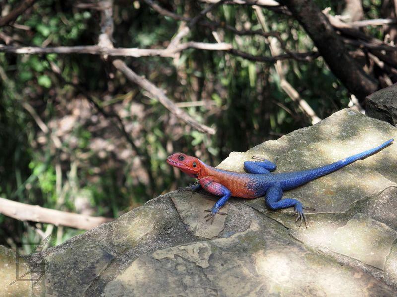 Agama płaskogłowa (Agama mwanzae)