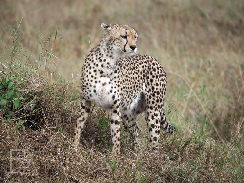 Gepard (Acinonyx jubatus) w Serengeti