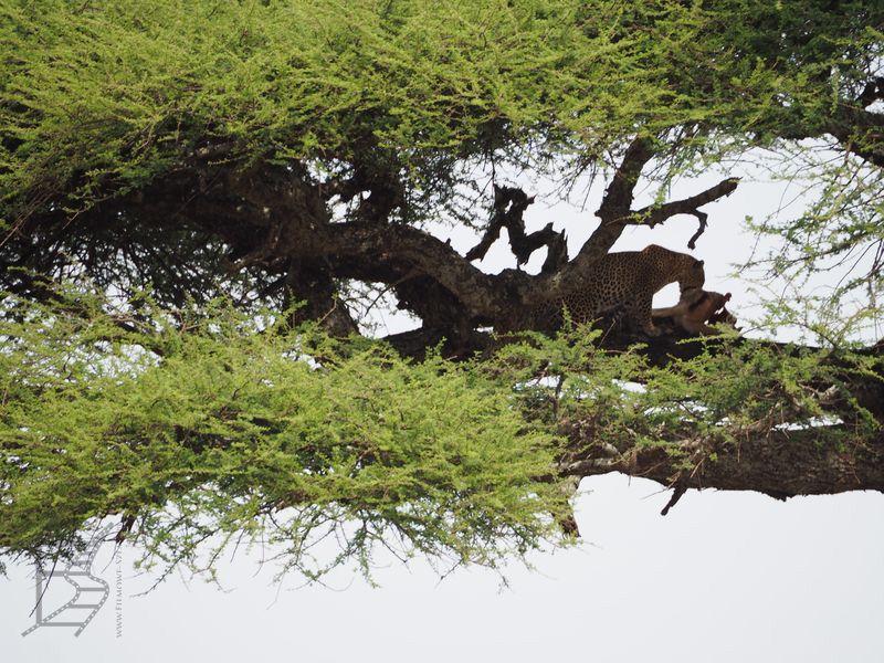 Lampart plamiasty (Panthera pardus), z angielska leopard