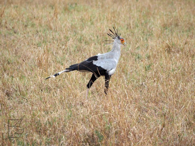 Sekretarz wężojad (Sagittarius serpentarius) i trawiasta równina Serengeti