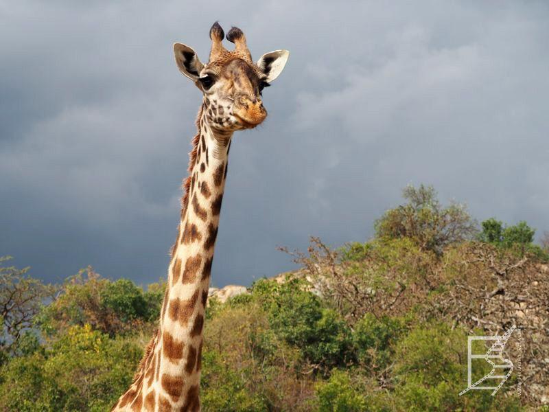 Żyrafa (Giraffa camelopardalis), Park Serengeti, Tanzania