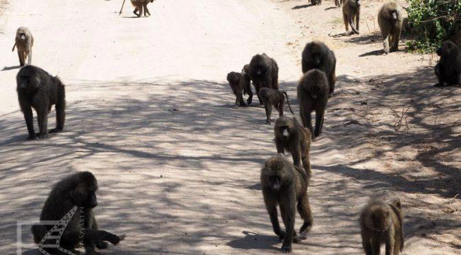 Park Narodowy Jezioro Manyara, pawiany i śpiące lwy