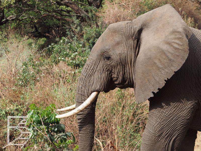 Słoń (Park Narodowy Jezioro Manyara)