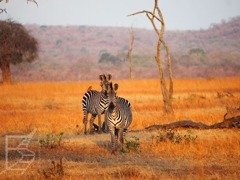Zebry (Park Narodowy Mikumi)