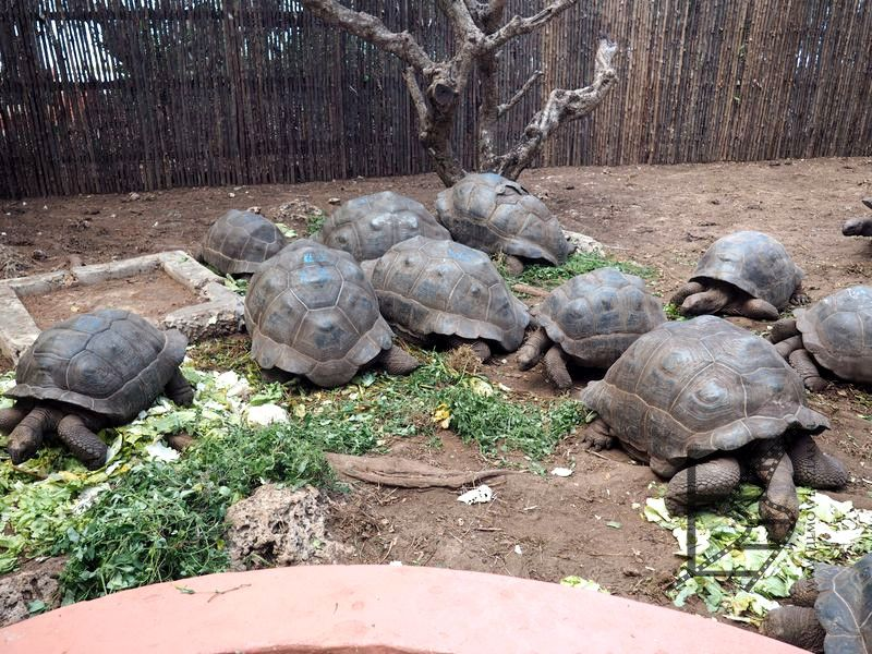 Żółwie olbrzymie, czyli Changuu lub Prison Island, albo wyspa żółwi koło Zanzibaru