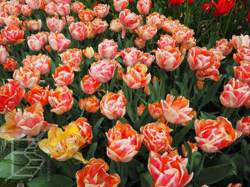 Tulipany w Lisse