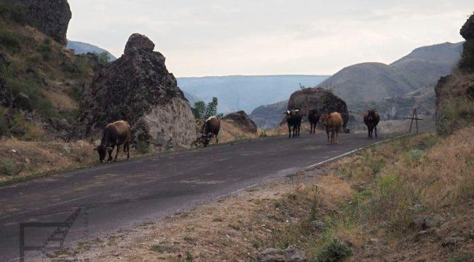 Krowy na drodze (Gruzja)