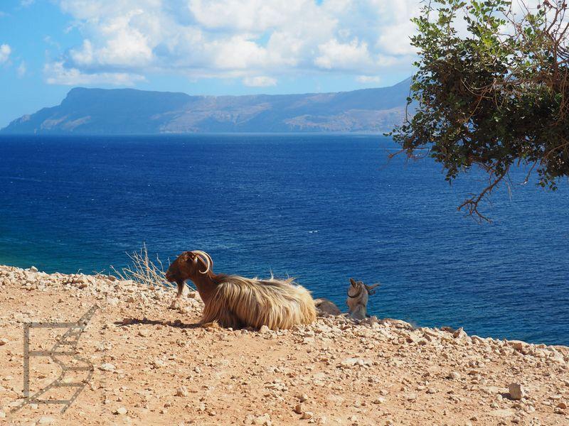 Koza w okolicy Balos (Kreta, Grecja)