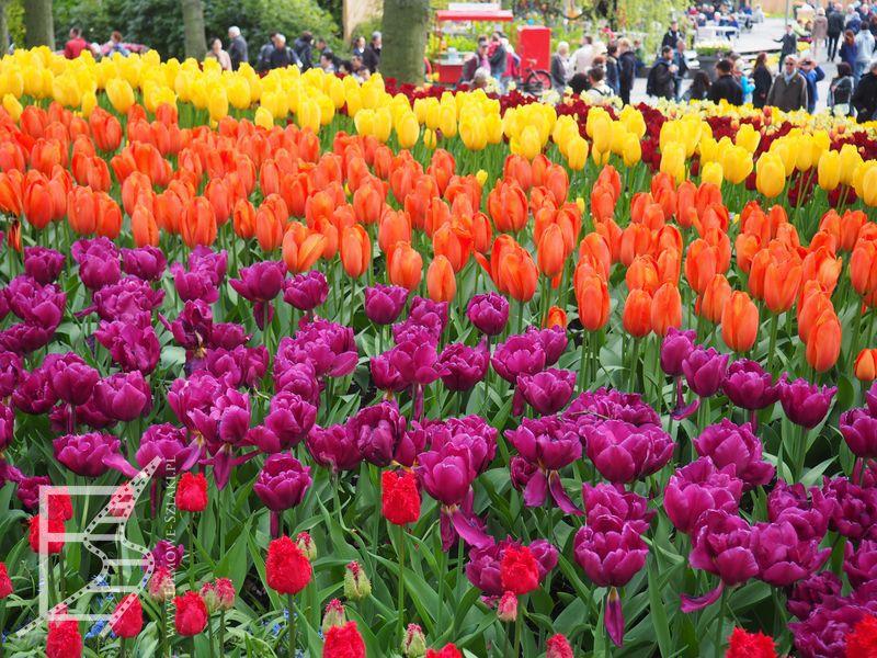 Tulipany Keukenhof