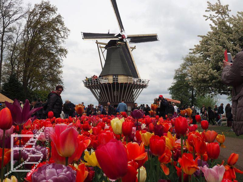 Tulipany w Holandii to jedno, ale w Holandii musi też być wiatrak