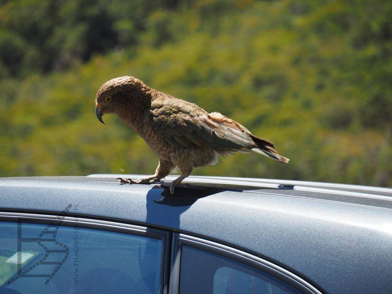 Kea zaczepiająca turystów podczas postoju w Fiordland