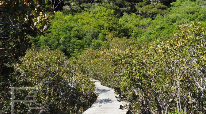 Droga między namorzynami w Paihia
