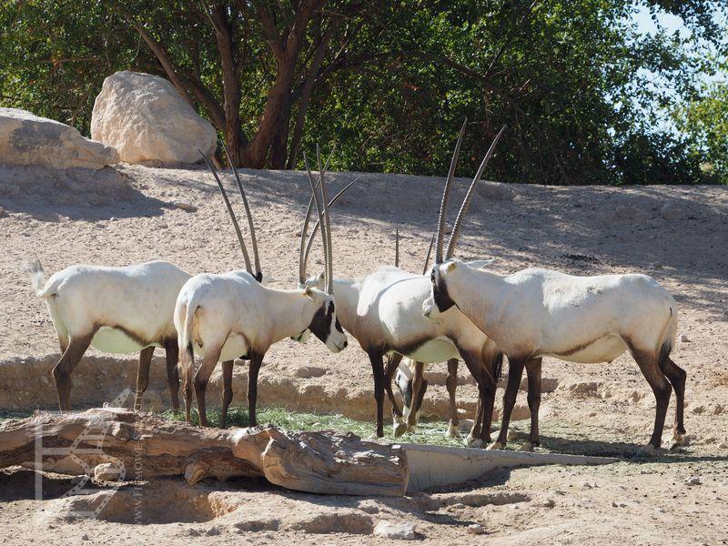 Oryksy arabskie w zoo w Al-Ajn