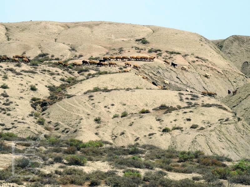 Pustynny krajobraz Azerbejdżanu, wzgórza, owce a gdzieś dalej ukryte wulkany błotne (Alat)