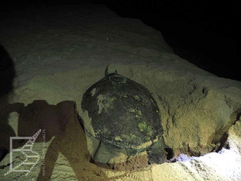 Żółwica zasypująca gniazdo