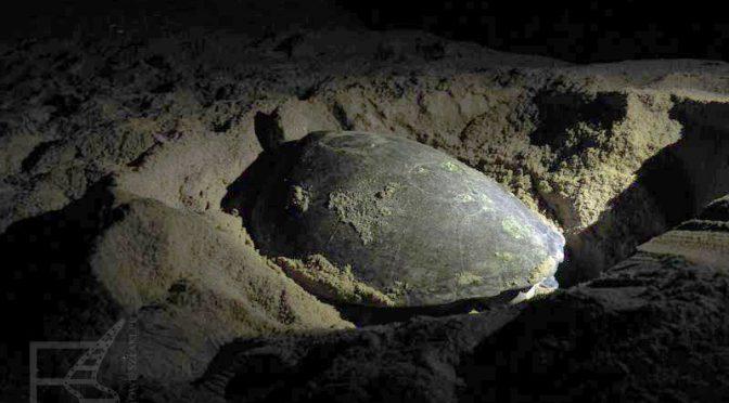 Ras Al Jinz, plaża i rezerwat żółwi morskich