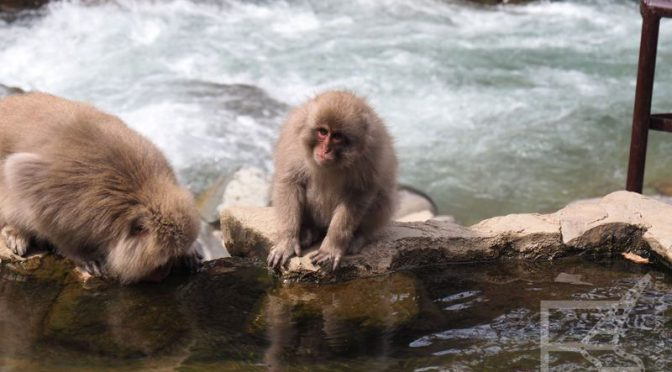 Yudanaka i śnieżne małpy z Parku Jigokudani