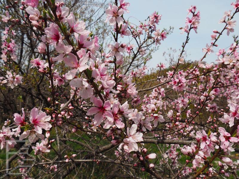 Wiśnie Sakura