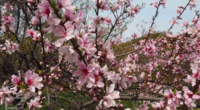 Kwitnące wiśnie - Fukushima