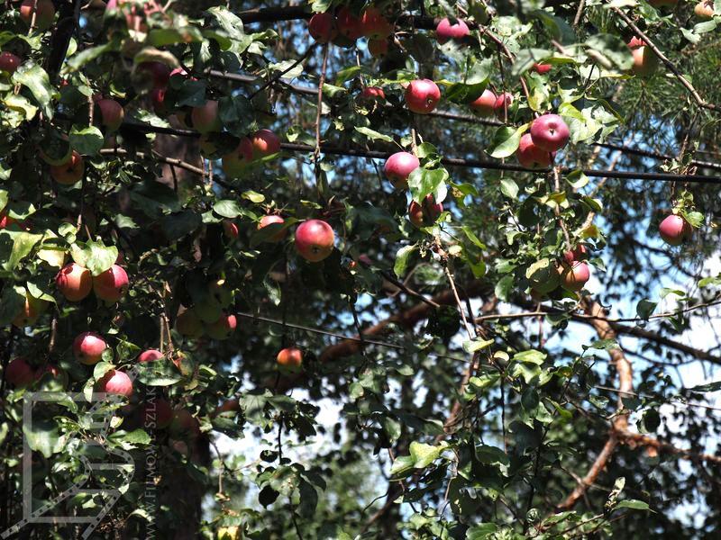 Jabłka w Czarnobylu